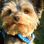 Yorkie with blue collar