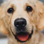 Vondi's Smiling Labrador